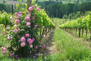 vineyard_summer_santoiolo_labellavita